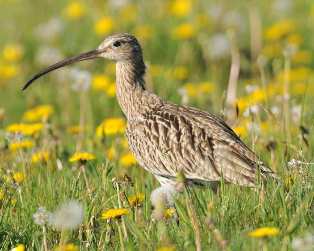 Foto 1: Großer Brachvogel