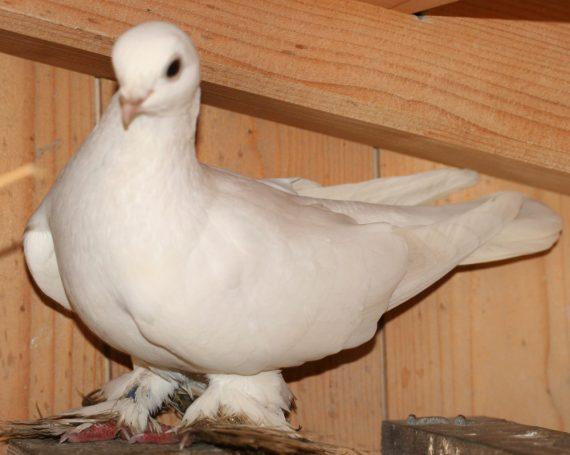 Usbekische Taube
