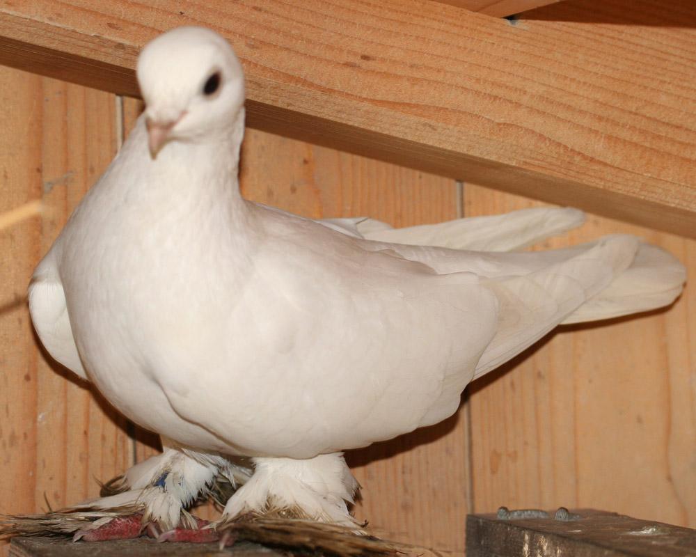 Foto 1: Usbekische Taube